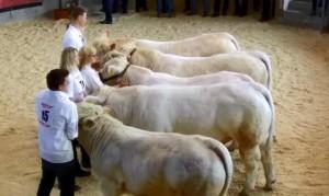 Die erste und jüngste Charolais Gruppe bei der Fleischrindermesse 2015